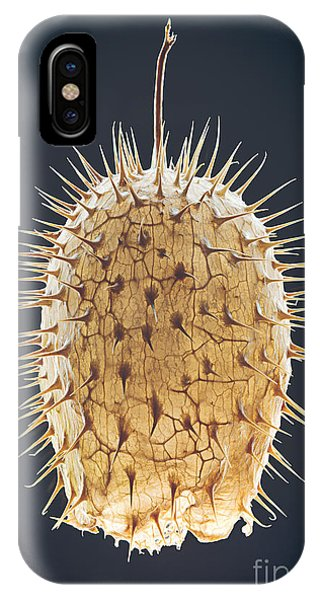 Ripe iPhone Case - Dried Fruit Of Echinocystis Lobata by Mike Laptev