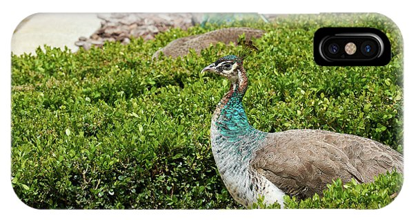 Female Peafowl At The Gardens Of Cecilio Rodriguez In Madrid, Spain IPhone Case