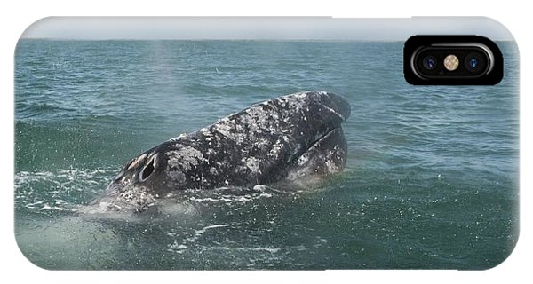 Gray Whale In Bahia Magdalena IPhone Case