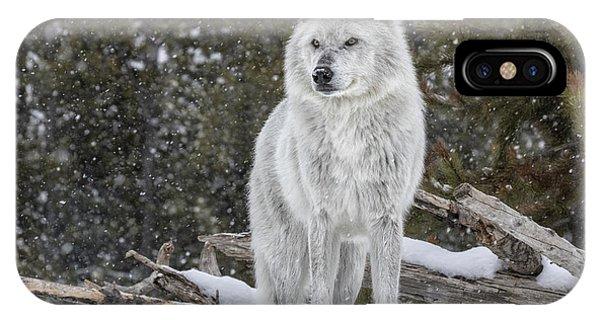 Struggle iPhone Case - Gray Wolf by David Osborn