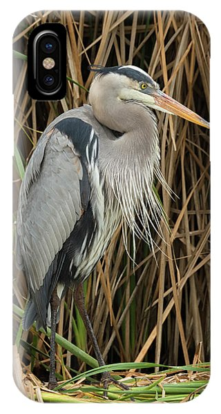 Great Blue Heron On Padre Island IPhone Case