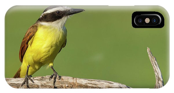 Great Kiskadee IPhone Case