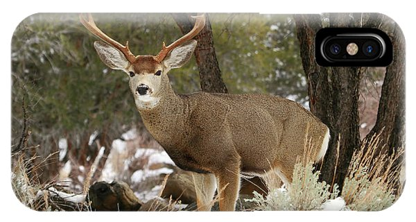 Mule Deer iPhone Case - Handsome Buck by Donna Kennedy
