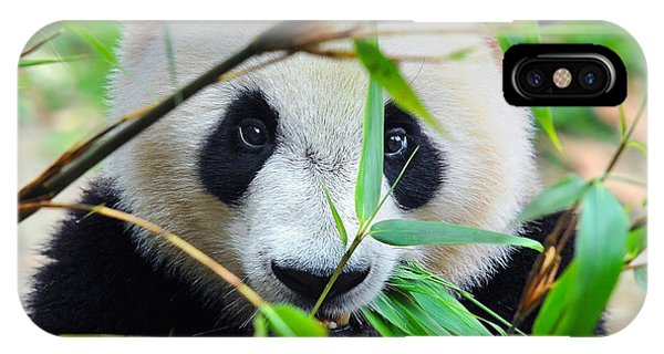 Zoology iPhone Case - Hungry Giant Panda Bear Eating Bamboo by Hung Chung Chih