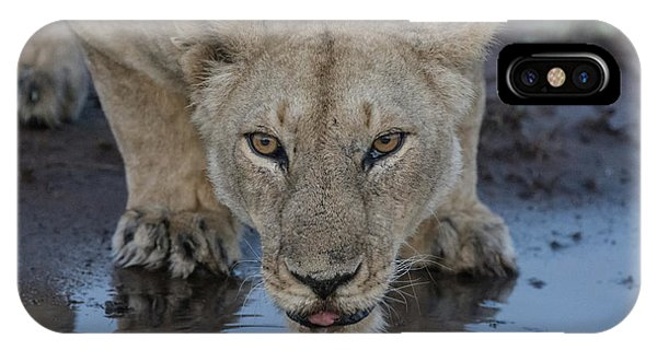 Lioness Drinking IPhone Case