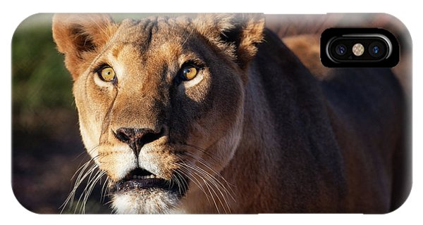 Lioness Looking Up IPhone Case
