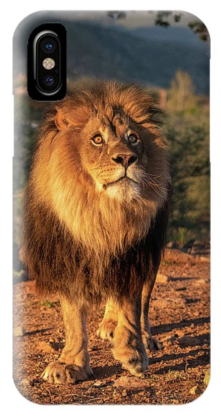 Male African Lion In Early Light IPhone Case