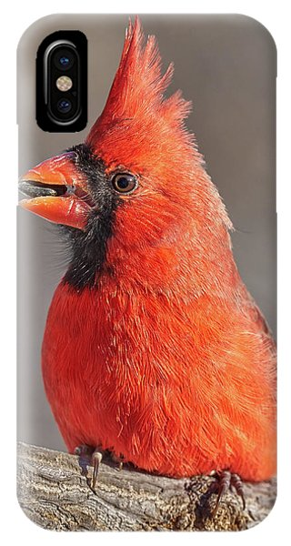 Male Cardinal With Sunflower Seed IPhone Case