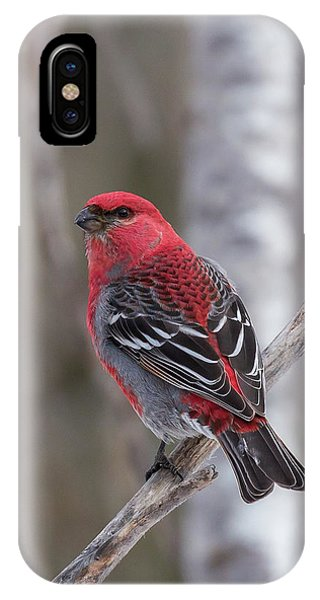Pine Grosbeak Sax Zim Bog IPhone Case