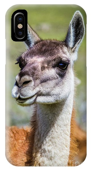 Portrait Of A Guanaco, Patagonia IPhone Case