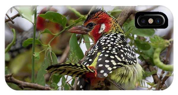 Red-and-yellow Barbet IPhone Case