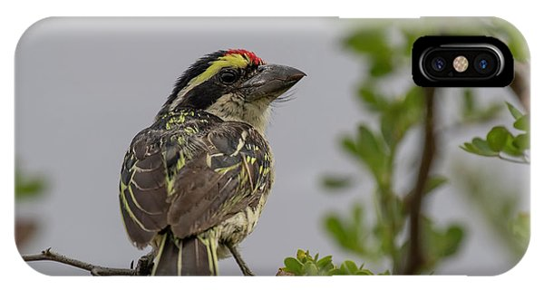 Red-fronted Barbet IPhone Case