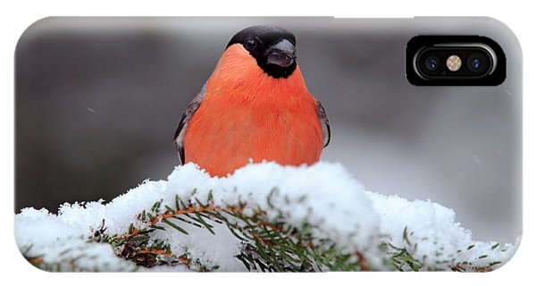 Plumes iPhone Case - Red Songbird Bullfinch Sitting On Snowy by Ondrej Prosicky