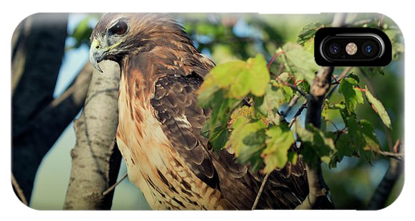 Red-tailed Hawk Looking Down From Tree IPhone Case