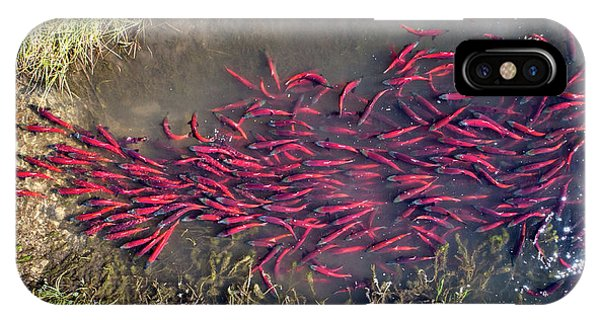 Spawning Kokanee Salmon IPhone Case
