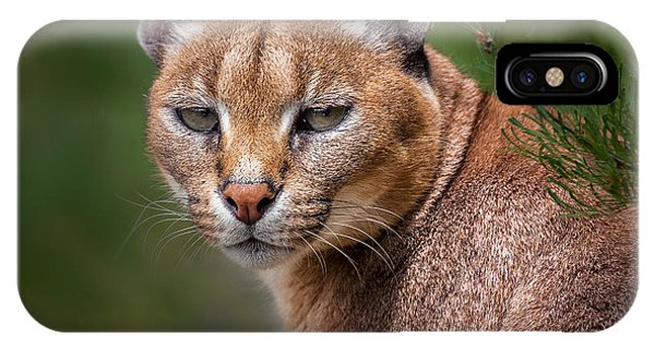 Lynx iPhone Case - The Portrait Of Caracal Snarling by Abxyz