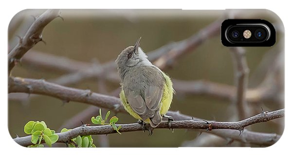 Yellow-bellied Eremomela IPhone Case