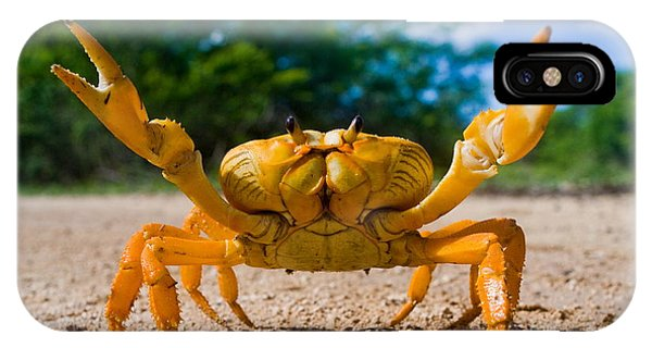 Claws iPhone Case - Yellow Land Crab. Cuba by Gudkov Andrey