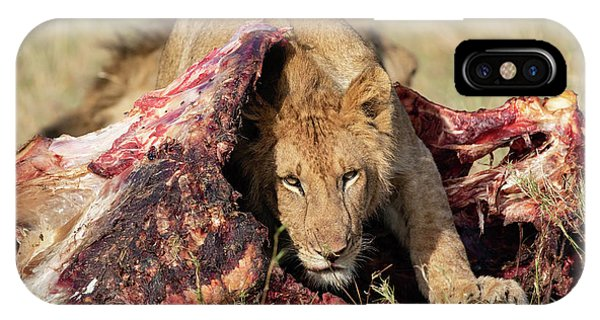 Young Lion On Cape Buffalo Kill IPhone Case