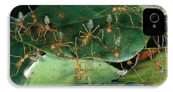 Weaver Ants IPhone 4 Case by Gregory G. Dimijian, M.D.