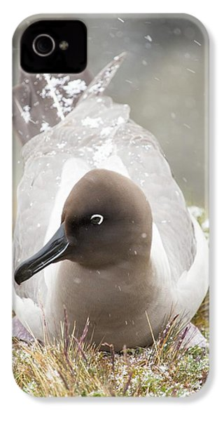 A Light Mantled Albatross IPhone 4 / 4s Case by Ashley Cooper