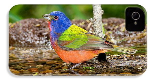 Painted Bunting IPhone 4 Case by Anthony Mercieca