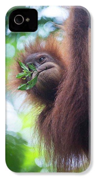 Sumatran Orangutan IPhone 4 / 4s Case by Scubazoo