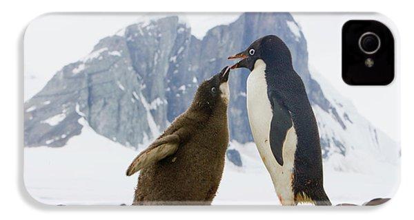 Adelie Penguin Chick Begging For Food IPhone 4 / 4s Case by Yva Momatiuk John Eastcott