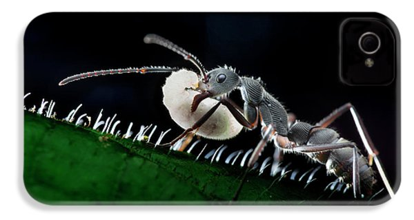 Ant Carrying Larva IPhone 4 Case by Melvyn Yeo