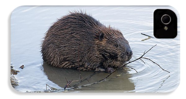 Beaver Chewing On Twig IPhone 4 Case by Chris Flees