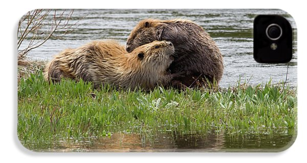 Beaver Pair Grooming One Another IPhone 4 Case by Ken Archer