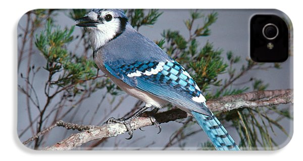 Bluejay Calling IPhone 4 Case by John S. Dunning