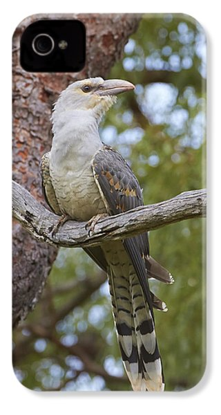 Channel-billed Cuckoo Fledgling IPhone 4 Case