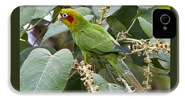 Chiriqui Conure 2 IPhone 4 Case by Heiko Koehrer-Wagner
