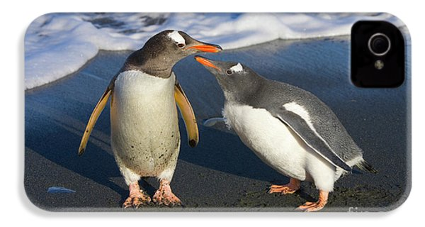 Gentoo Penguin Chick Begging For Food IPhone 4 Case by Yva Momatiuk and John Eastcott