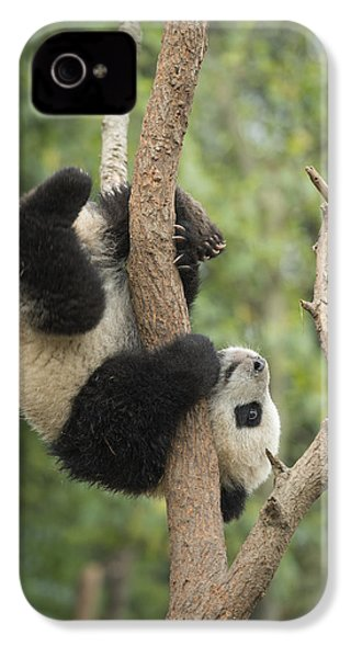 Giant Panda Cub In Tree Chengdu Sichuan IPhone 4 Case by Katherine Feng