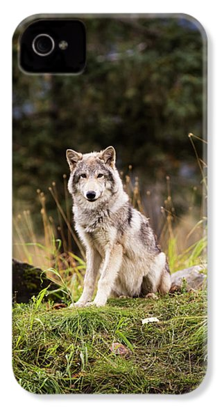 Grey Wolf  Canis Lupus  Pup Roams It S IPhone 4 / 4s Case by Doug Lindstrand
