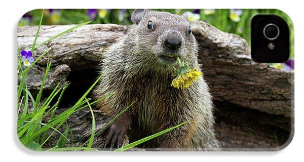 Groundhog  Kit Marmota Monax IPhone 4 Case by Debbie Dicarlo