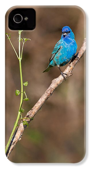 Indigo Bunting Portrait IPhone 4 / 4s Case by Bill Wakeley