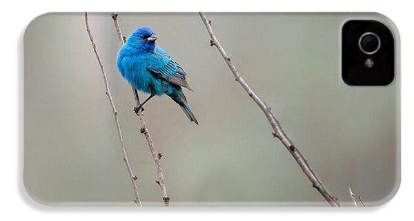 Indigo Bunting Square IPhone 4 Case by Bill Wakeley