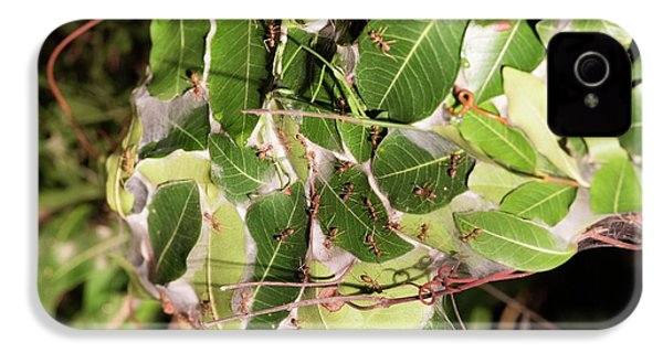 Leaf-stitching Ants Making A Nest IPhone 4 Case by Tony Camacho