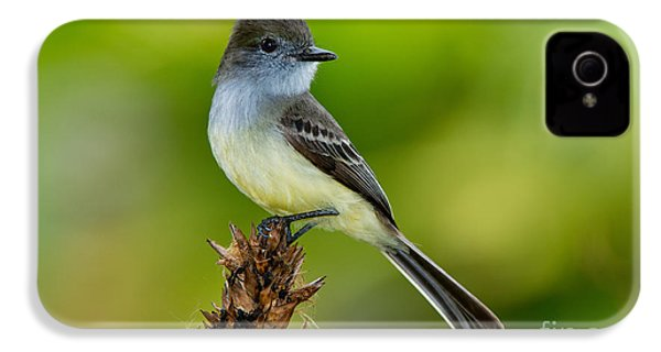 Pale-edged Flycatcher IPhone 4 Case by Anthony Mercieca