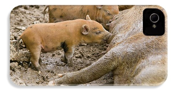 Pigs Reared For Pork On Tuvalu IPhone 4 Case by Ashley Cooper