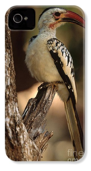 Red-billed Hornbill IPhone 4 Case by Art Wolfe