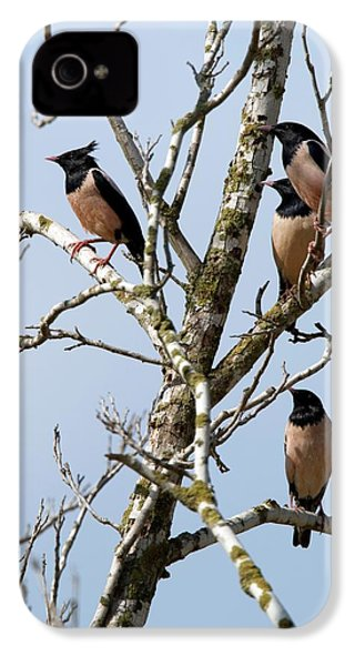 Rosy Starling (sturnus Roseus) IPhone 4 / 4s Case by Photostock-israel