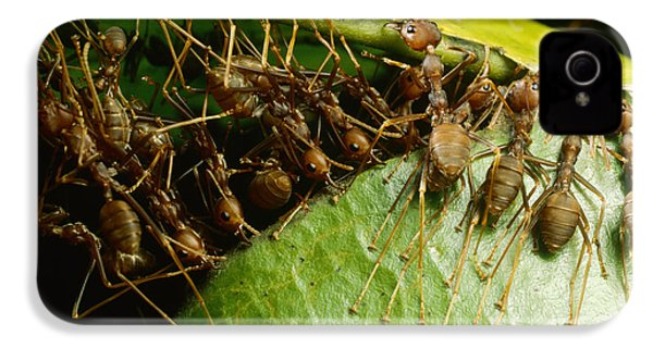 Weaver Ant Group Binding Leaves IPhone 4 Case by Mark Moffett