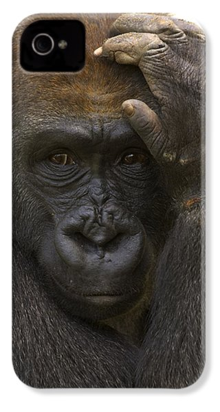 Western Lowland Gorilla With Hand IPhone 4 Case by San Diego Zoo