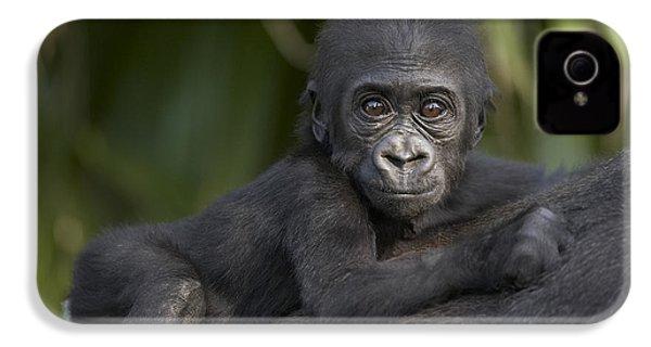 Western Lowland Gorilla Gorilla Gorilla IPhone 4 Case by San Diego Zoo