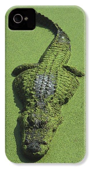 American Alligator Alligator IPhone 4 / 4s Case by Heidi & Hans-Juergen Koch