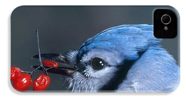 Blue Jay IPhone 4 / 4s Case by Photo Researchers, Inc.